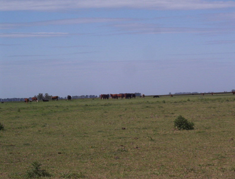 Cows in the CP lands