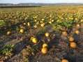 #9: Famous Styrian pumpkins