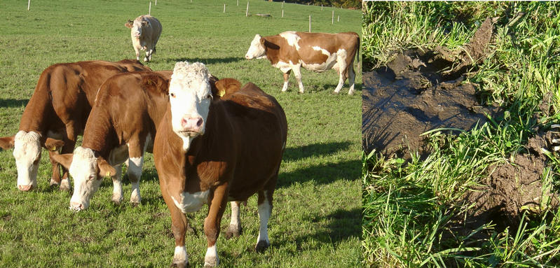 Grazing cows with destroyed soil