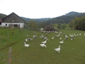 #11: The Farm with Lots of Geese