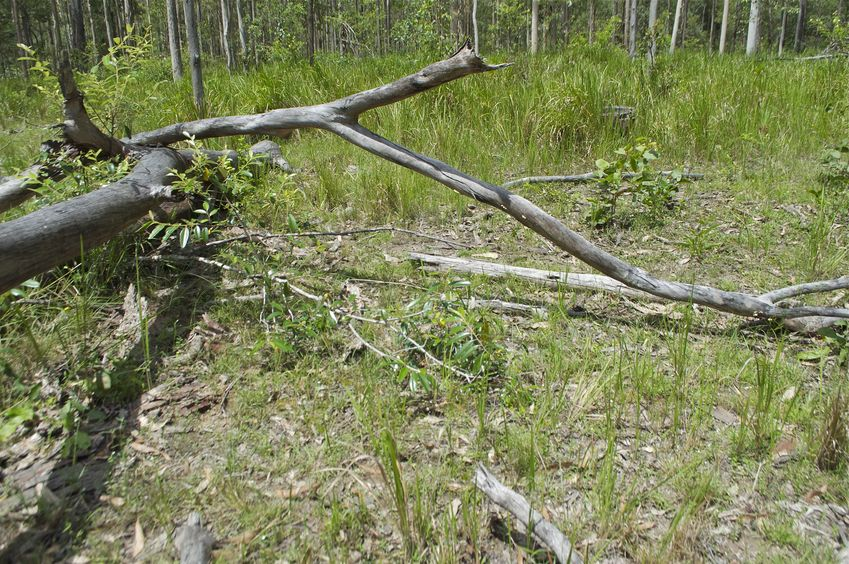 The confluence point lies among these downed gum trees, in a clearing