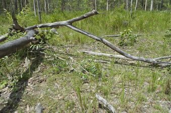 #1: The confluence point lies among these downed gum trees, in a clearing