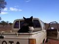 #5: Owner's dog in the back of his ute
