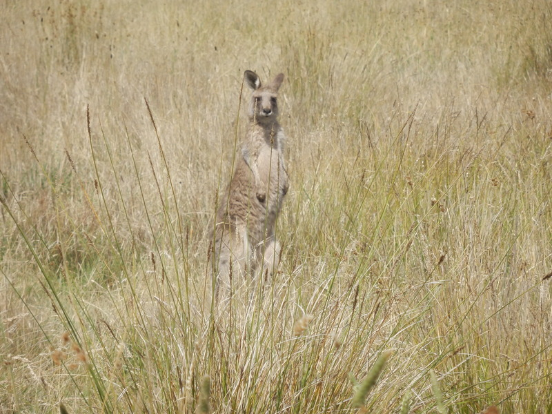 Kangaroo nearby