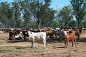 #3: Some of the cattle in the yards