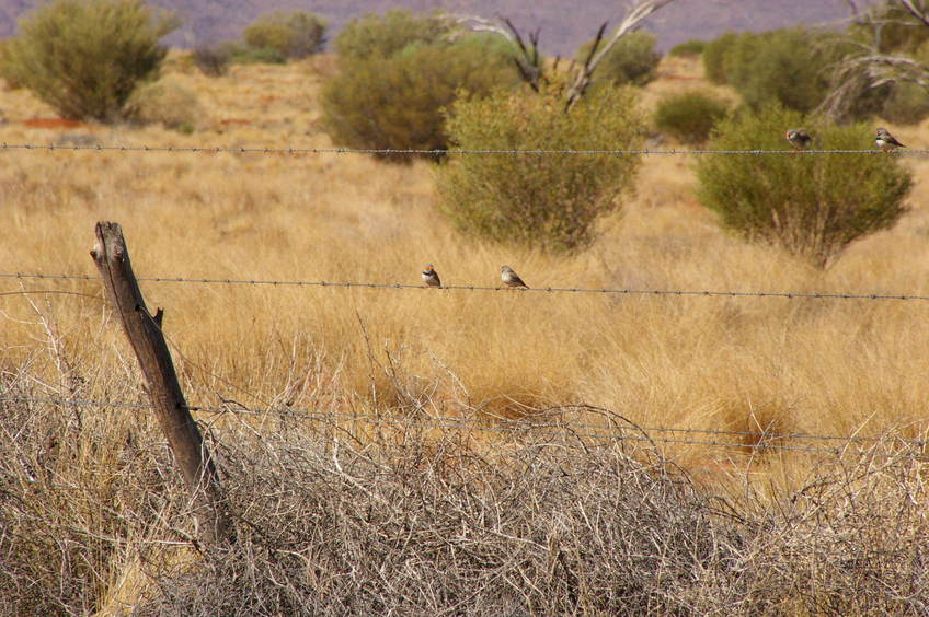 The Barbed Wire fence with Zebra Finches