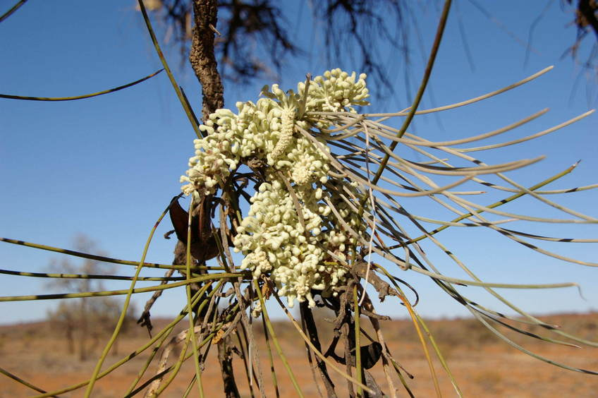 The Hakea flower