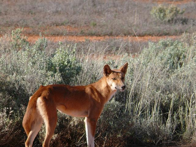 Dingo (native dog) The only animal we saw for days