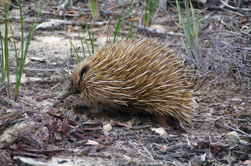 Echidna on the Douglas Hill Bdry Trk