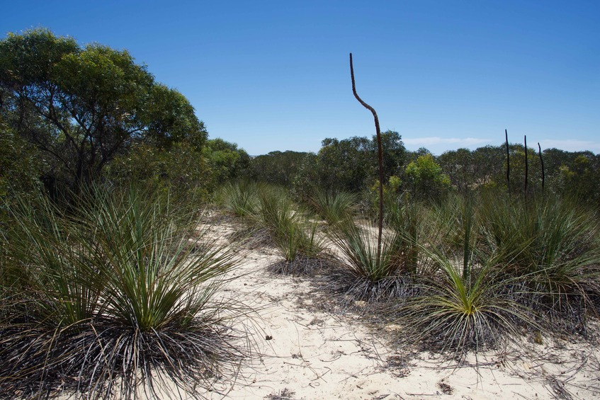 "Xanthorrhoea - aka. ""Yakka"" or"" Blackboys"" - growing on the adjacent sand dune, 180 m from the point"
