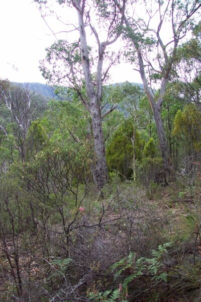 View to the north, Eucalypt trees