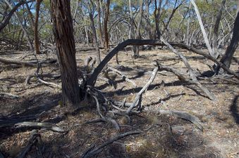 #1: The confluence point lies in a grove of gnarled gum trees, many of which are dead