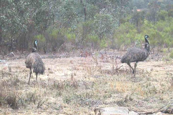 There were also a few emus within several hundred metres of the confluence