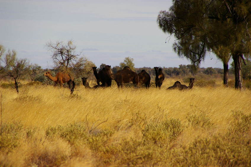 Wild Camels encountered while walking to the Confluence