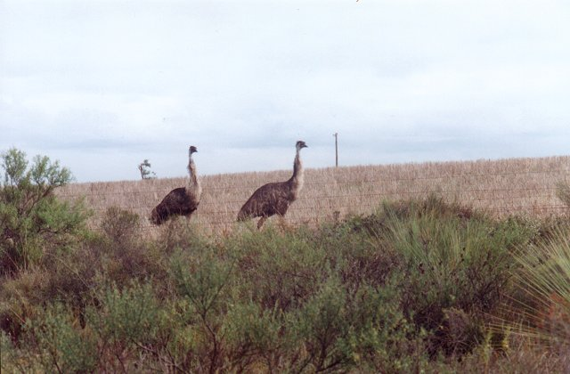 My emu racing mates.