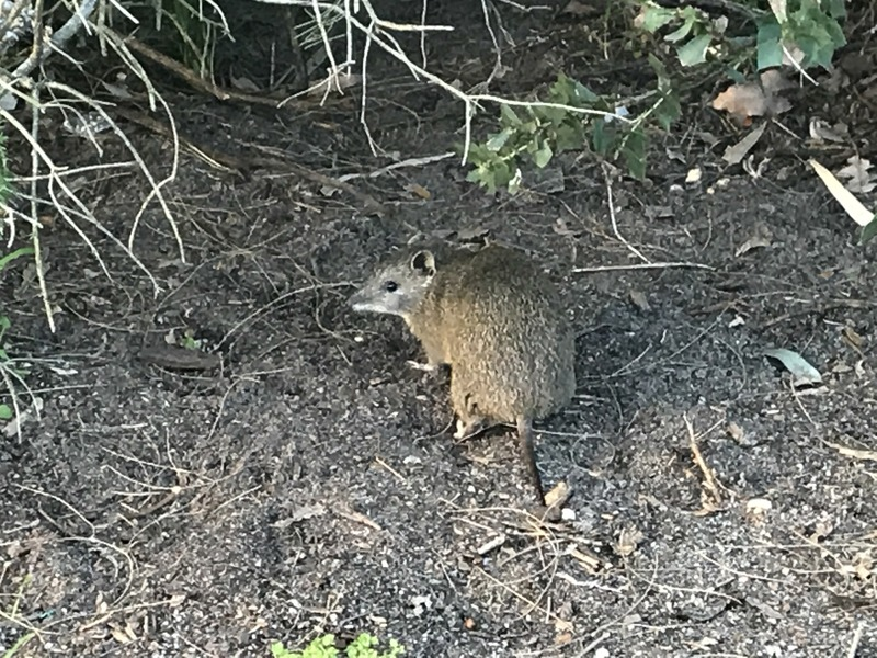 Native animal to Australia - a bandicoot - about 200 meters northeast of the confluence point.