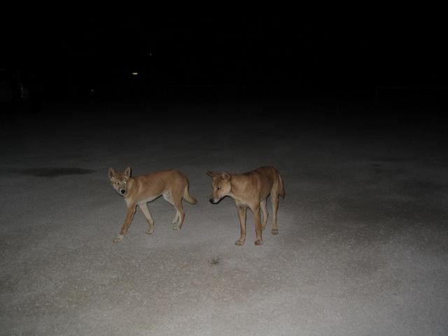 Dingo's at Nullarbor Roadhouse