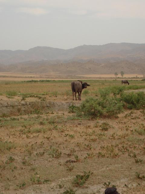 a cow in the semidesert