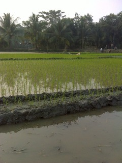 #1: Flooded paddy field view