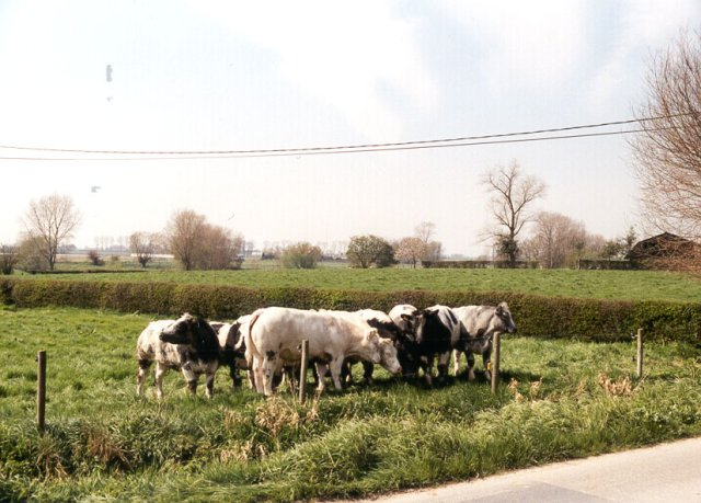 The cows looking at the confluence