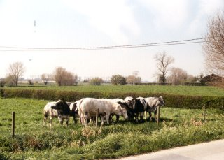 #1: The cows looking at the confluence