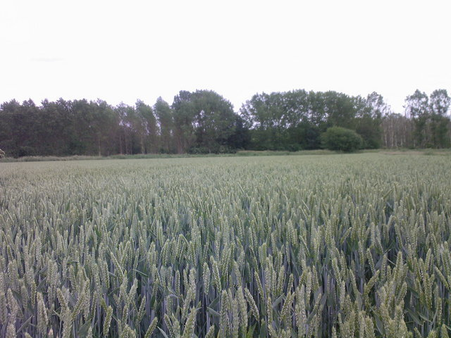 Wheat field near the confluence
