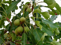 #7: Fruits of a shea tree