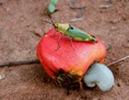 #9: Grasshopper on a cashew fruit