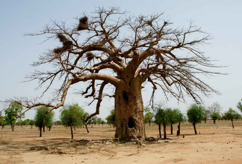 Big baobab tree with nests of Alecto birds