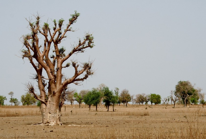 Baobab in the plain