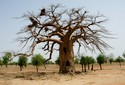 #7: Big baobab tree with nests of Alecto birds