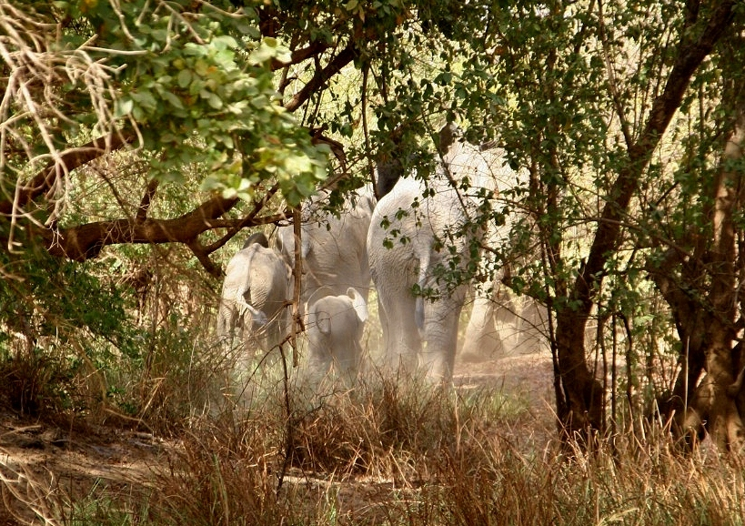 Elephants in the bush, close to Boromo