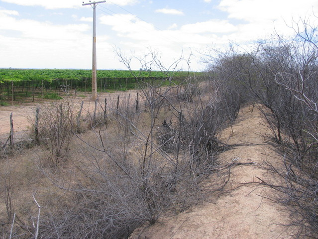 Caatinga vegetation