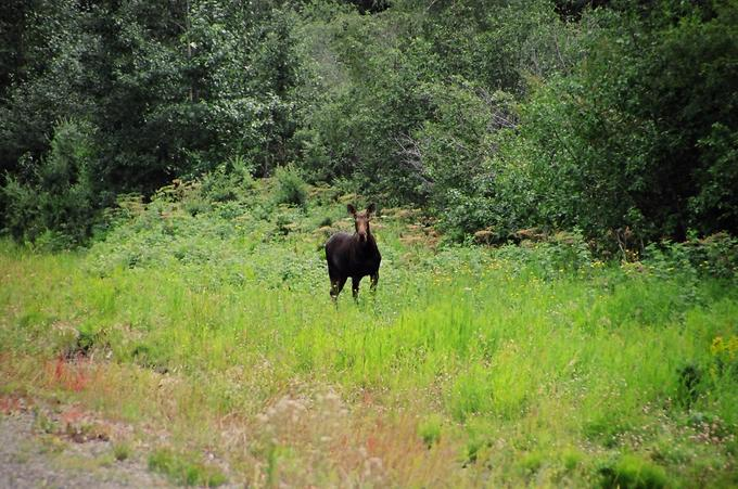 Moose beside Highway 29