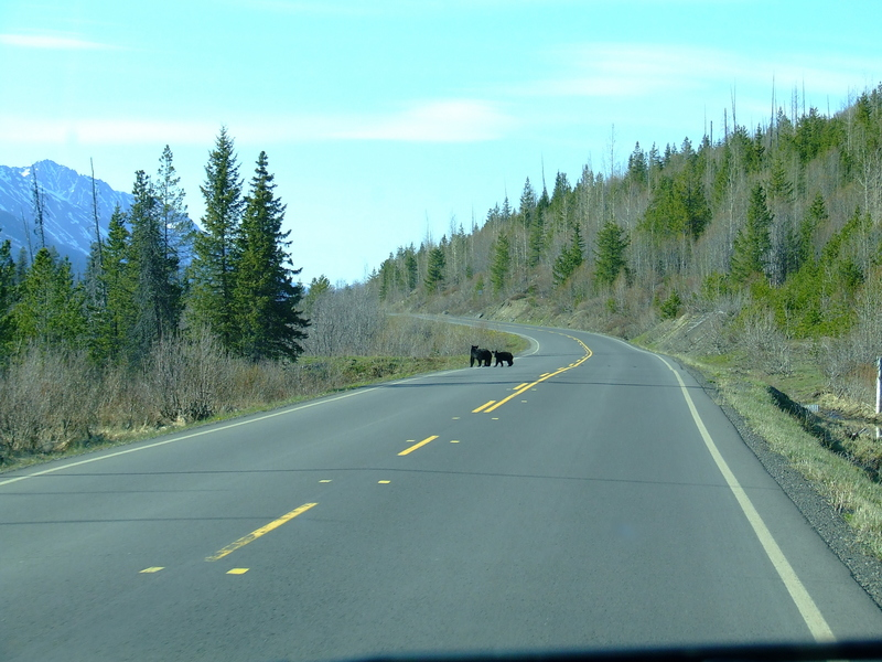 black bears crossing the highway 37 not far from the starting point of the hike