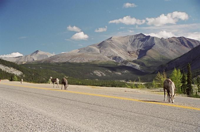 stone sheep on highway, with Mount St. George in the background