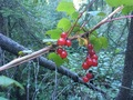 #9: Wild red currants 150 m from the Confluence