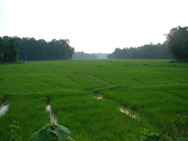 Paddy Field To North Of Confluence