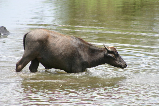 Water buffalo a few kilometres from the point