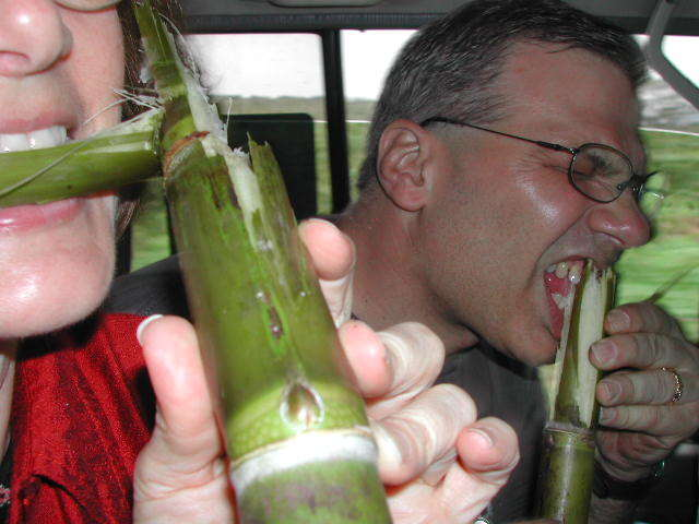 The Americans give the sugar cane a try