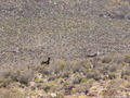 #8: Burros that I passed hike to the Confluence