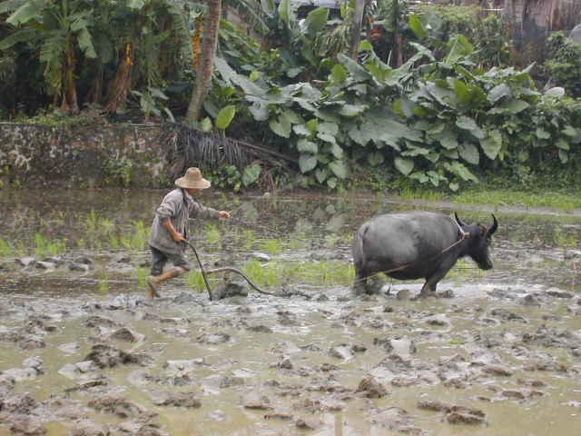 Farmer plowing with water buffalo