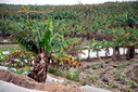 #10: A typical view of the surrounding area - Banana plants