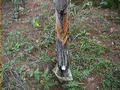 #5: Tree Sap being collected