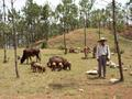 #6: Farmer with pigs and cattle near the point