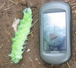 #6: Huge Caterpillar