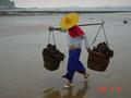 #7: Oysters are carried on a shoulder yoke a short distance across the beach to a processing centre.