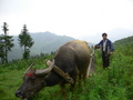#9: A peasant and his water buffalo.