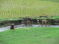 #4: Water wheels in action, irrigating the rice paddies.
