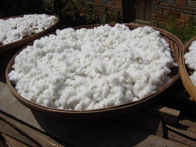 Cotton drying in the sun